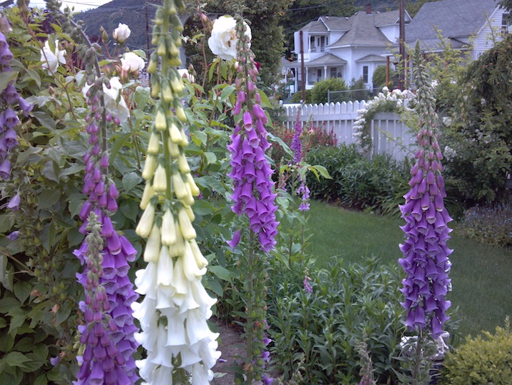 Foxglove, The Painted Lady, Southern Oregon